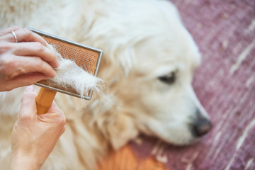 Woman combs old Golden Retriever dog with a metal grooming comb