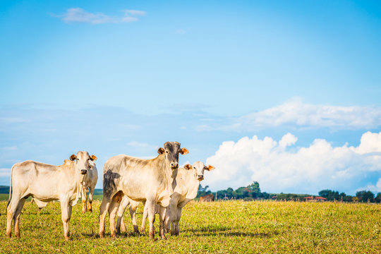 Brazilian nelore catle on pasture in Brazil's countryside.