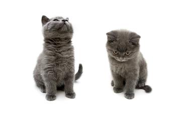 fluffy gray kittens on white background