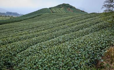 Tea fields on the Alishan slopes (Taiwan)
