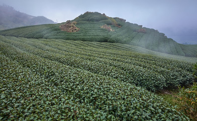 Tea fields on the Alishan slopes (Taiwan)