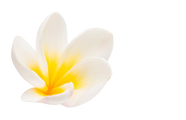 plumeria flower isolated