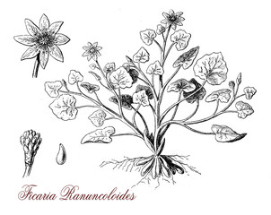 vintage engraving of ficaria ranuncoloides, flowering plant with jellow glossy flowers, poisonous, deadly if ingested by grazing livestock