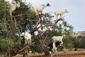 Goats climbing in argan tree