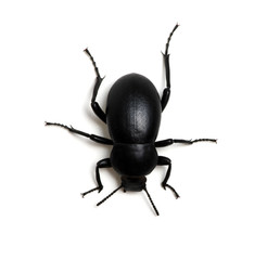black beetle on white