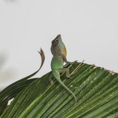 Green anole, male lizard on a tree in Guadeloupe