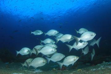 Fish school underwater. Silver fishes. Rabbitfish