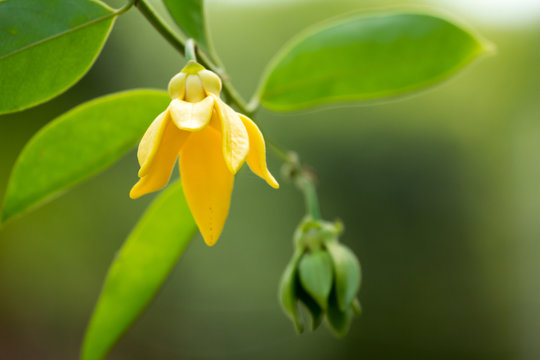 Ylang ylang flower.