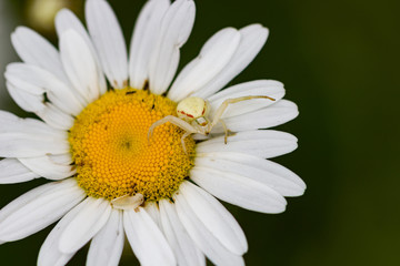 Daisy close-up with white colored spider