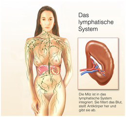 Das lymphatische System mit Milz