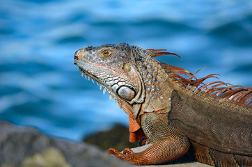Closeup of a green iguana sunning itself on the shores of the florida intra-coastal waterway in Miami Beach.