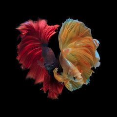 Foto op Canvas Vissen Siamese fighting fish