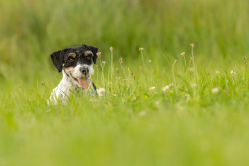 little dog lies in a green meadow with flowers. Cute Jack Russell Terrier Hound - hair style rough