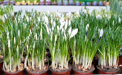 seedlings in pots, spring flowers, flowers in greenhouses