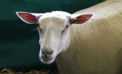 The Head of a Pedigree Charollais Sheep.