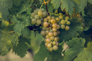 Ripe vine grapes