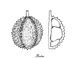 Hand Drawn of Ripe Durian on White Background