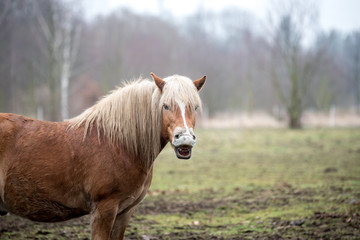 Funny brown horse laughs.