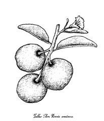 Hand Drawn of Fresh Tallow Plum on White Background