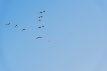 Geese flying in a blue sky in winter at sunrise