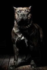 Stolzer Pitbull American Bully Hund