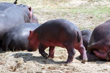 Wilde Nilpferde in den Gewässern von Uganda Afrika