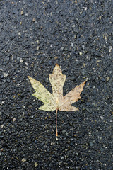High angle view of maple leaf on wet street