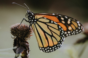 Close-up of monarch butterfly perching on wilted thistle