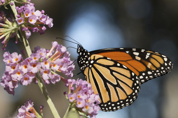 Close-up of monarch butterfly pollinating on fresh flowers