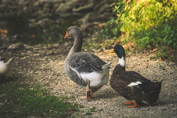 couple of ducks at farm summer day