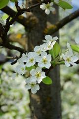 Birnenblüten im Sonnenschein