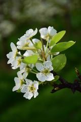 Birnenblüte im Sonnenschein