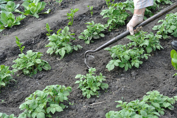 gardener pull up weeds with a hoe in the potato plantation in the vegetable garden