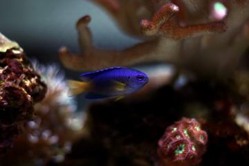 Yellowtail damsel fish
