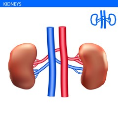 Human kidneys anatomy realistic illustration front view in detail. kidneys exercise. Right and left kidneys with arteria 3D illustration style. Healthy lung. Urinary system.