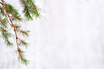 Snow-covered green pine branches.