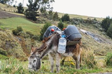 Donkey carrying water and supplies Chimborazo, in rural Ecuador