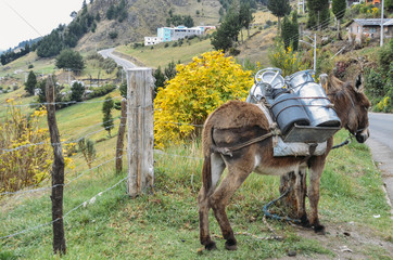 Donkey carrying water and supplies Chimborazo, in rural Ecuador