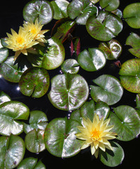 Yellow Lotus Flowers and Lily Pads Floating in Pond
