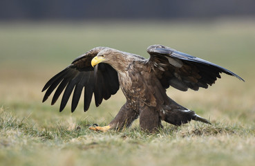 Wall Mural - White tailed eagle (Haliaeetus albicilla)