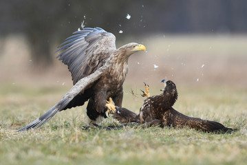 Fototapete - White tailed eagles (Haliaeetus albicilla) fighting