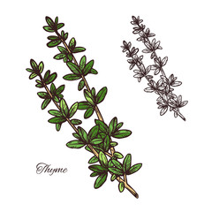 Thyme spice herb sketch of green branch with leaf