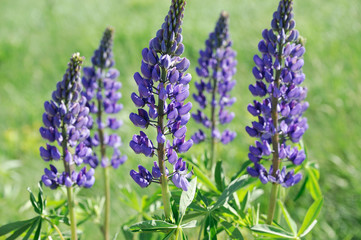 Close up on lupine blossom in spring in wild area