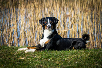 Appenzeller Sennenhund Photos Royalty Free Images
