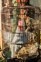 One white rooster with red scalkop in steel cage