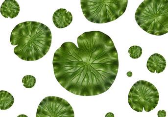 lotus leafs