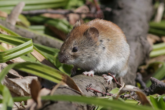 vole, animal, rodent, mammal, mouse,