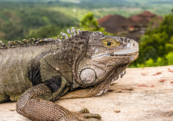 A close view of a head of an adult green iguana, also known as the American iguana.