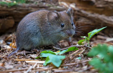 Bank vole feeding on forest leafy floor