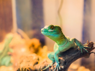 Reptile is the Common Basilisk sitting on a tree at a pet store. Terrarium.